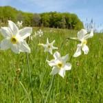 La Narcisse des poètes